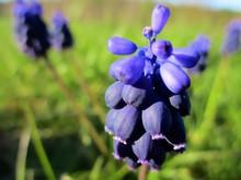 Gros Plan De Fleur Bleue De Mu...
