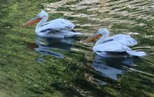 Zwei Pelikane Auf Reflektieren...