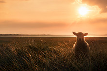 Young Sheep In Tall Grass At Sunrise