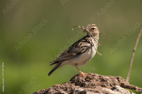 Stunning bird photo. Woodlark / Lullula arborea Fototapeta