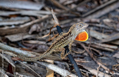 Brown Florida reptile shows his orange throat as another anole approaches Wallpaper Mural