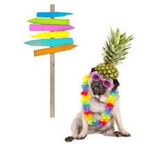 Summer Pug Dog Sitting Down Wi...