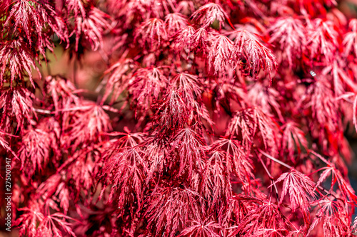 Photo Closeup of Japanese Maple Tree with red spring or fall autumn foliage with patte