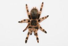 Big Hairy Tarantula Isolated On White Background
