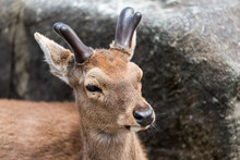 Nara, Japan Street Park In Downtown City With Deer Head Face Closeup With Antlers