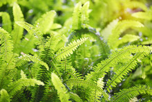 Green Bracken Lush Fern Growing