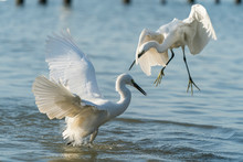 Snowy Egret Wading In Shallow Edge Of Lake Eating Fish
