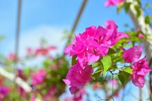 Bougainvillea Flowers And Bougainvillea Plant Tree Under The Shiny Blue Sky In Summer Season.