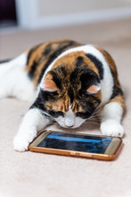 Closeup Of Calico Cat Face Looking At Smartphone Mobile Cell Phone Video Screen Of Birds And Animals On Carpet Floor Indoor House