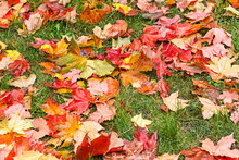 Autumn Background. Red Maple Leaves