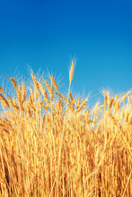 Golden Color Agriculture Field. Ripe Wheat Close Up Under Blue Sky