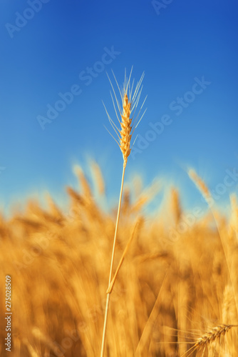 Garden Poster Beautiful morning golden color agriculture field. ripe wheat close up under blue sky