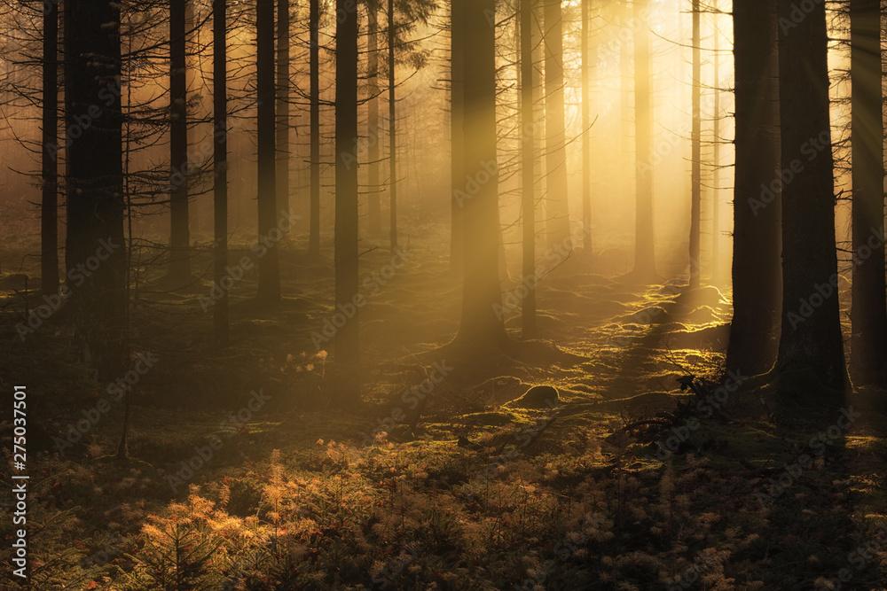 Fototapeta Dark mystical autumn forest with fog and warm sunlight