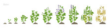 Growth Stages Of Bean Plant. Bean Family Fabaceae Phases Set Ripening Period. Life Cycle, Animation Progression.