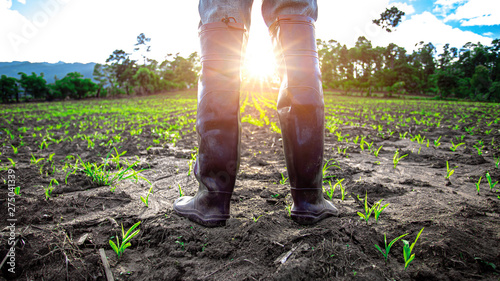 Fototapeta Farmer in rubber boots standing in cornfield with light of sunset. agricultural concept. obraz