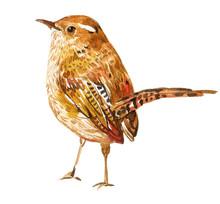 Wren Bird Watercolor Illustration On Isolated White Background