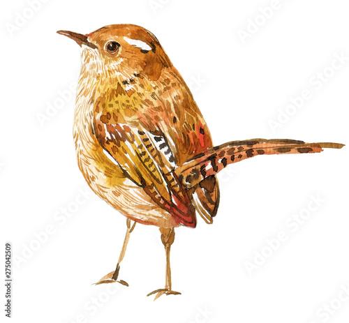Obraz na plátně Wren bird watercolor illustration on isolated white background