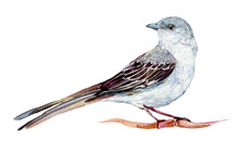 Mockingbird Watercolor Illustr...