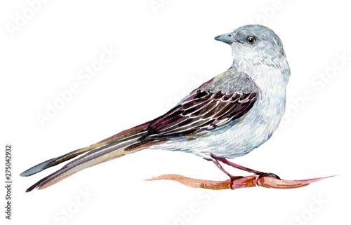 Valokuvatapetti Mockingbird watercolor illustration on isolated white background
