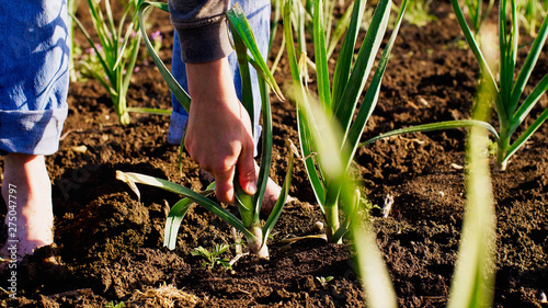 Obraz Barefoot farmer tears young garlic plant on the field doing his job, hands with garlic closeup. Working at farm. - fototapety do salonu