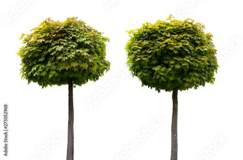 Fotografia  Zwei Acer Ahorn Bäume mit Hochstamm isoliert auf weißem Hintergrund