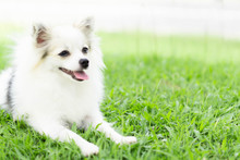 Closeup Face Of Puppy Pomeranian Looking At Something With Green Nature Background, Dog Healthy Concept, Selective Focus