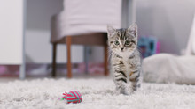Shot Of A Cute Gray With Black Stripes Kitten Plays With A Kittens Toy And Looks Into Camera. Sunny Living Room.