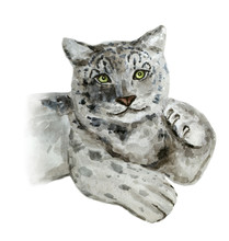 Snow Leopard. Watercolor Illus...