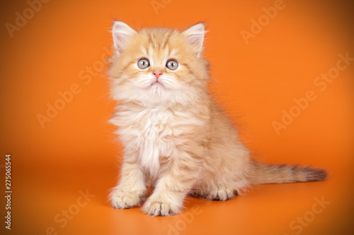 Canvastavla  Scottish straight longhair cat on colored backgrounds