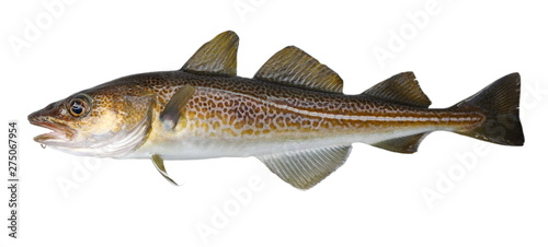Atlantic cod fresh, Gadus morhua, fish of Greenland Fotobehang