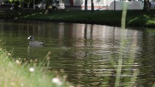 Pair Of American Coots Swimming Together, With One Diving Down And Popping Back Up