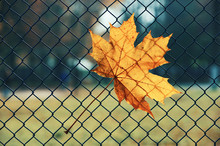 Maple Leaf In The Fence Backgr...