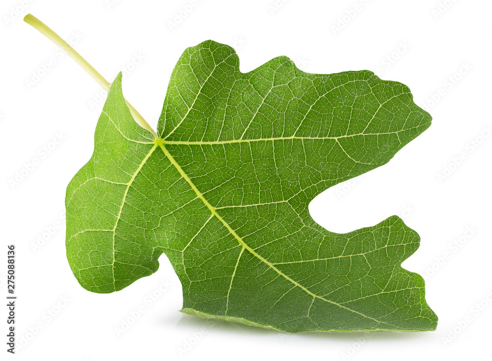 Fototapety, obrazy: fig leaf isolated on a white background