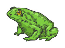 Hallucinogenic Frog Toad Animal Color Sketch Engraving Vector Illustration. Scratch Board Style Imitation. Black And White Hand Drawn Image.
