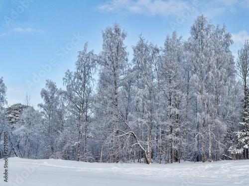 Poster Pays d Europe birch winter forest in white snow