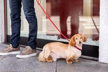 A Cute Dachshund Mix Dog Out For A Walk In The City. His Owner's Legs Are Reflected In A Window Behind.