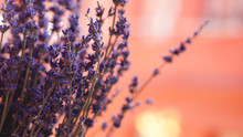 Dried Lavender Bunches On Brig...