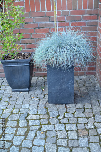 Poster Graffiti The fescue blue (gray) (Festuca cinerea) grows in a decorative flowerpot
