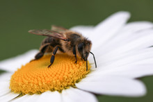 Bee On  White And Yellow Flower Head