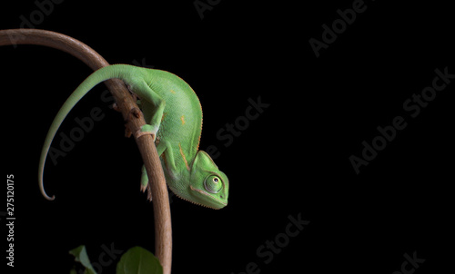 Photographie  Green baby chameneon, Chamaeleo calyptratus, sitting on branch, black background