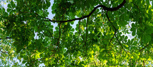 Leaves On Chestnut Branches In Summer
