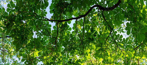 Foto op Canvas Bomen Leaves on chestnut branches in summer