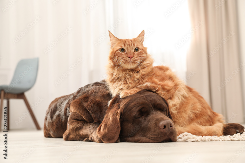 Fototapety, obrazy: Cat and dog together on floor indoors. Fluffy friends