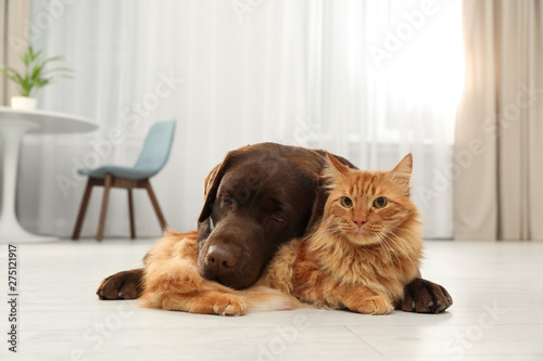 Obraz Cat and dog together looking at camera on floor indoors. Fluffy friends - fototapety do salonu