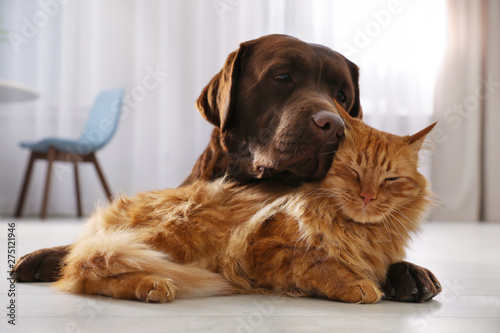 Obraz Cat and dog together on floor indoors. Fluffy friends - fototapety do salonu