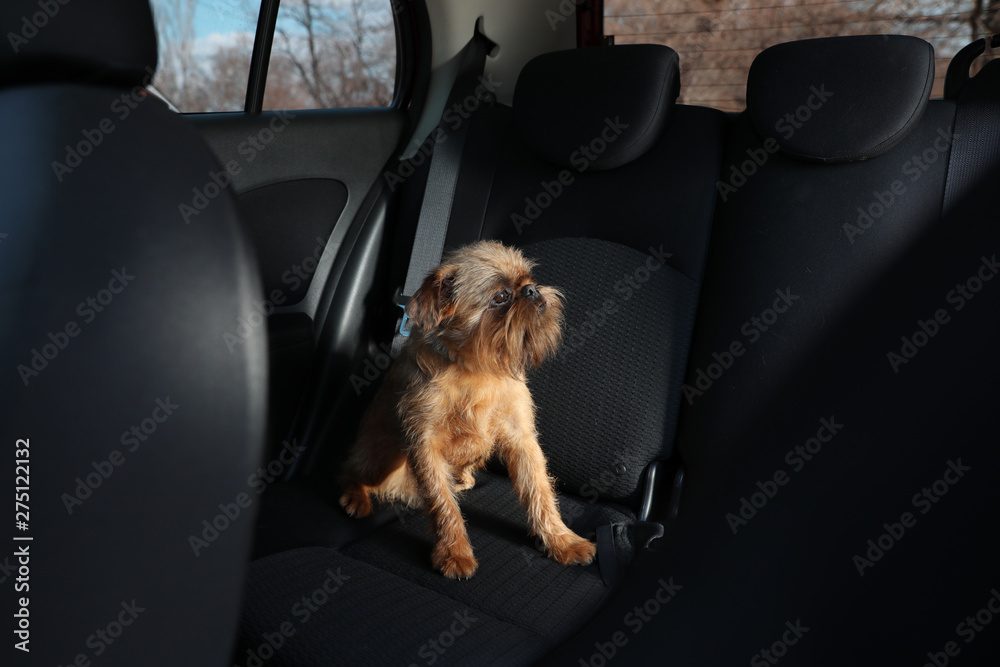 Fototapety, obrazy: Adorable little dog in car. Exciting travel