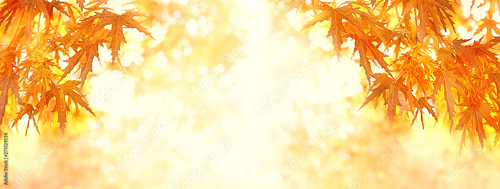 Fototapety, obrazy: Autumnal maple leaves. autumn sunny background with bright red maple foliage. Autumn leaves on blurred nature landscape. Fall background. banner, copy space