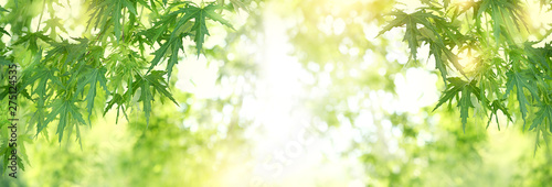Ingelijste posters Bomen Bright summer green background with maple leaves. Blurred green nature background, tree leaves frame. Fresh green leaves on branch in sunlight. copy space