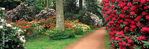 Panoramic view of a spring display of Azaleas and Rhododendrons in a woodland garden