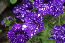 Close Up Image Of The Unique Purple Spotted Flowers Of Petunia Night Sky, In A Natural Outdoor Setting.